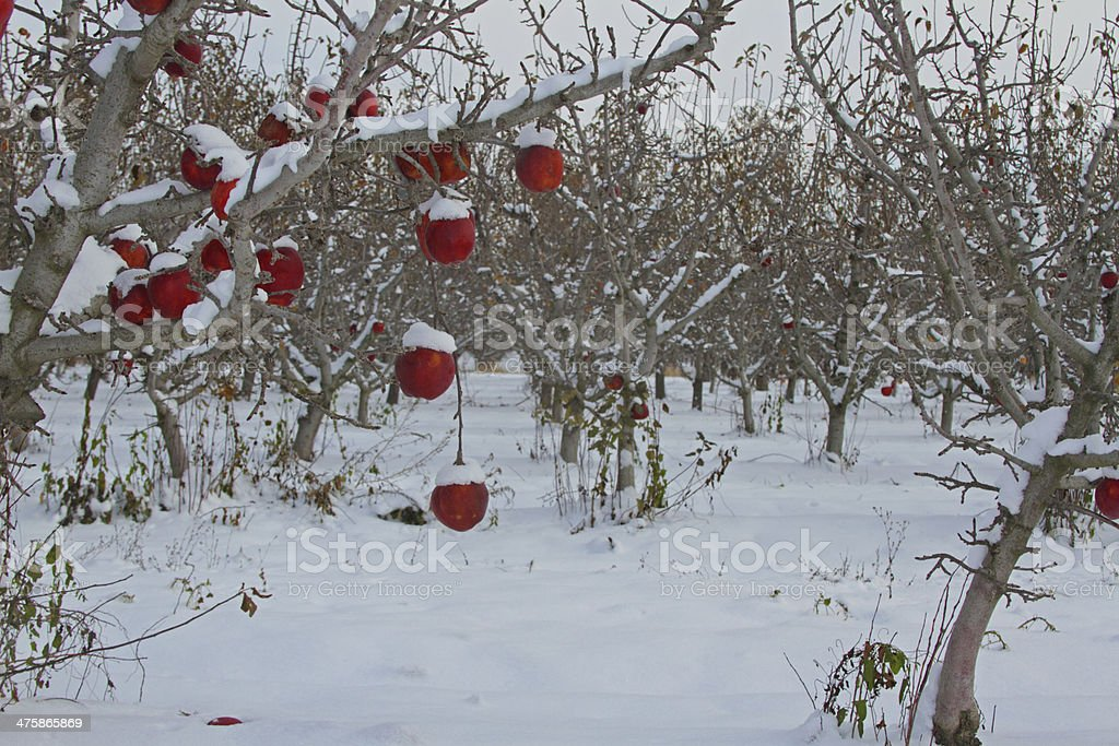 Winter orchard royalty-free stock photo