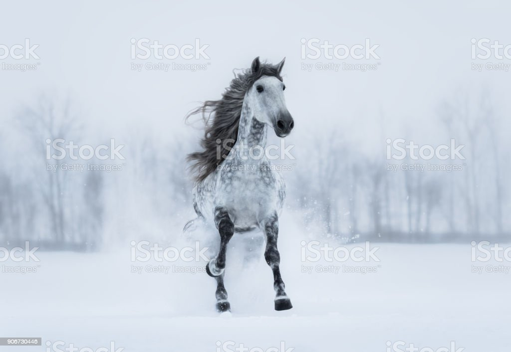 Winter overcast landscape with galloping grey long-maned horse. stock photo