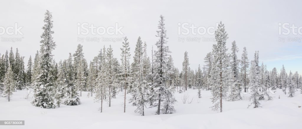 Winter panorama with a arctic fir trees. stock photo