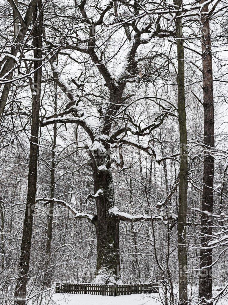 Winter park com carvalho - Foto de stock de Brilhante - Luminosidade royalty-free