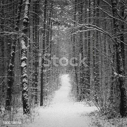 istock Winter pine forest under white snow. Winter forest landscape. Tall trees under snow cover. Snowy path during winter in the forest. 1300708155