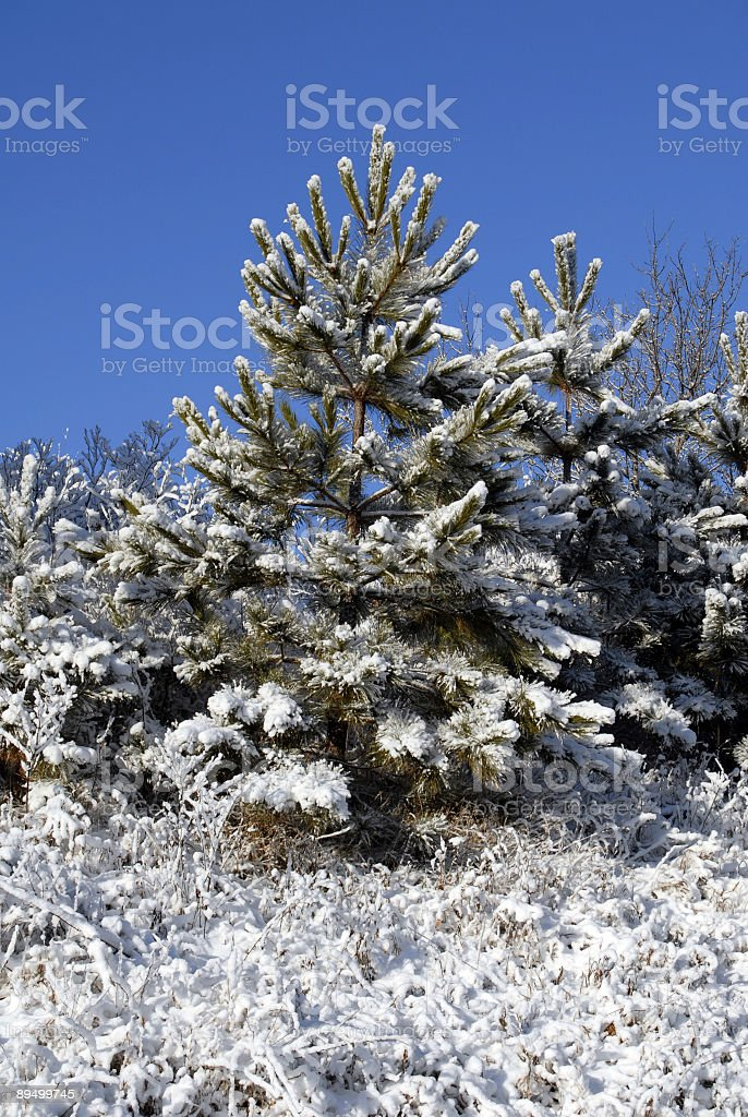 Winter Pine royaltyfri bildbanksbilder