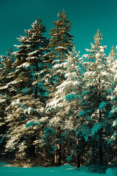 Winter pine trees covered by snow stock photo