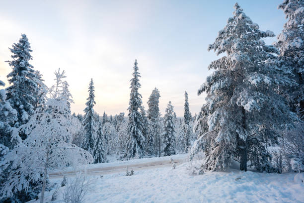 Winter pine trees with snow stock photo