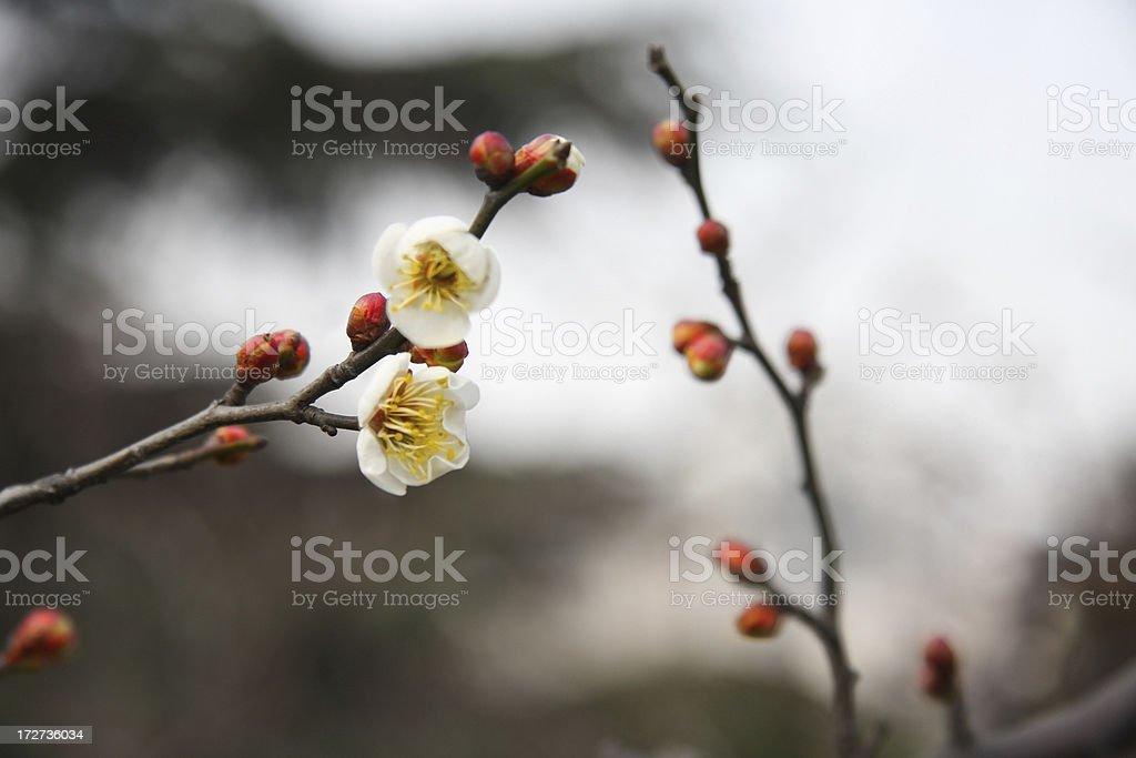 Winter Plum Blossom in Shanghai royalty-free stock photo