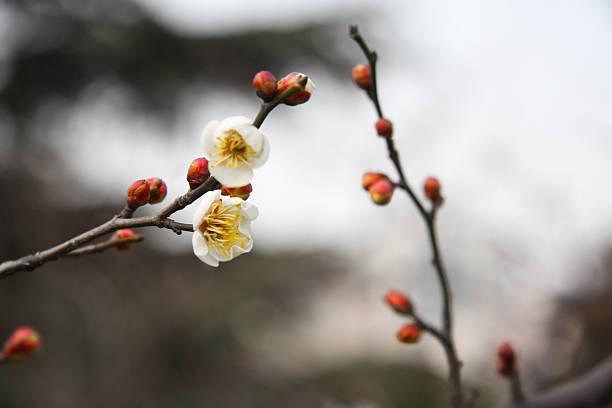 Winter-Pflaumenblüte in Shanghai – Foto