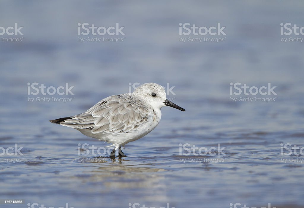 Winter Plumaged Sanderling Wading in Water. Winter Plumage Sanderling Wading in Water photographed in Cheshire. Black Color Stock Photo