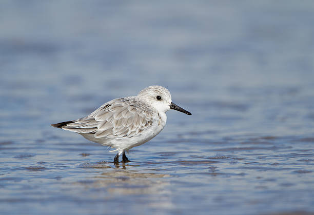 Winter Plumaged Sanderling Wading in Water. stock photo