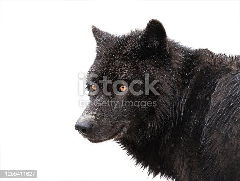 istock winter portrait canadian black wolf isolated on white 1255411627