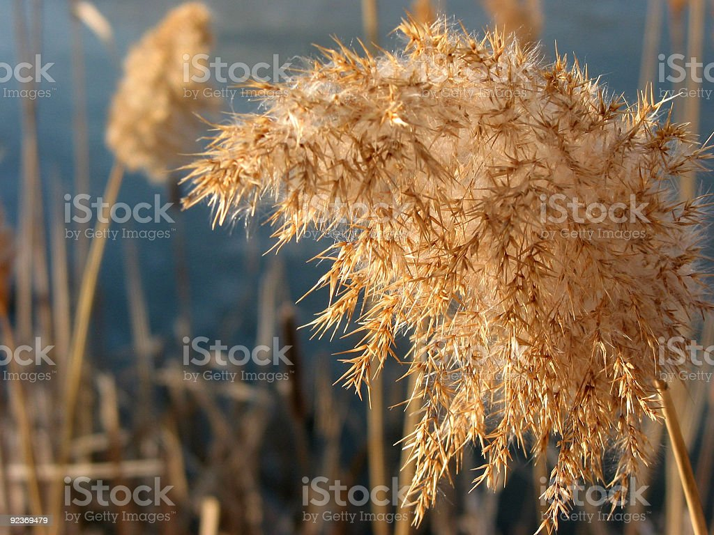 Winter reed flower royalty-free stock photo