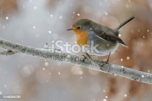A robin red breast in soft falling snow