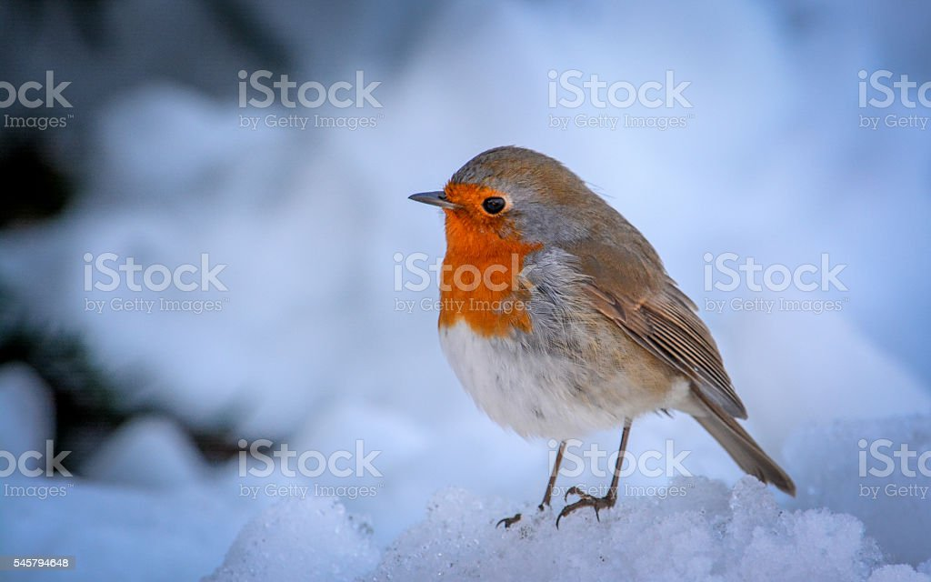 Winter Robin stock photo