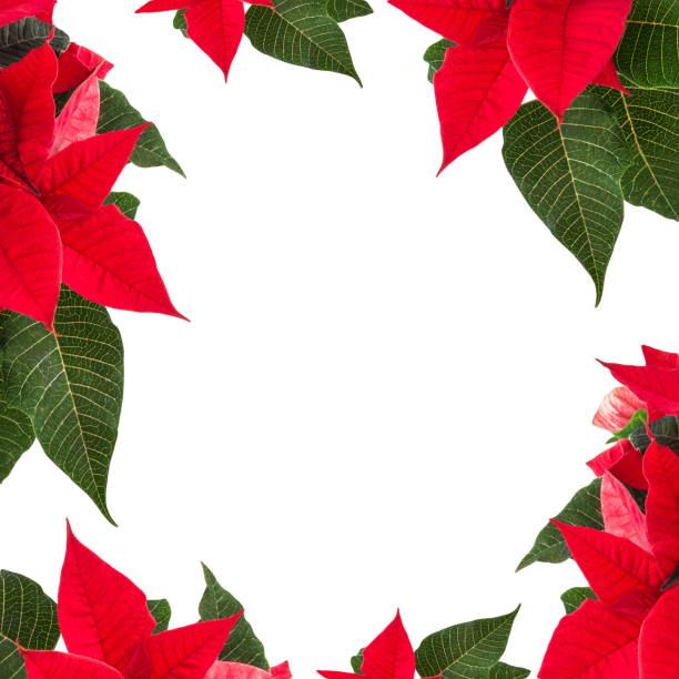 winter rose hintergrund - weihnachtssterne aus papier stock-fotos und bilder