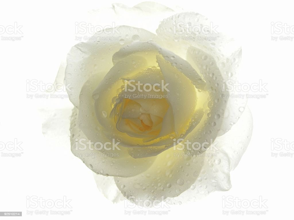 Winter Rose - Lighting Ice royalty-free stock photo