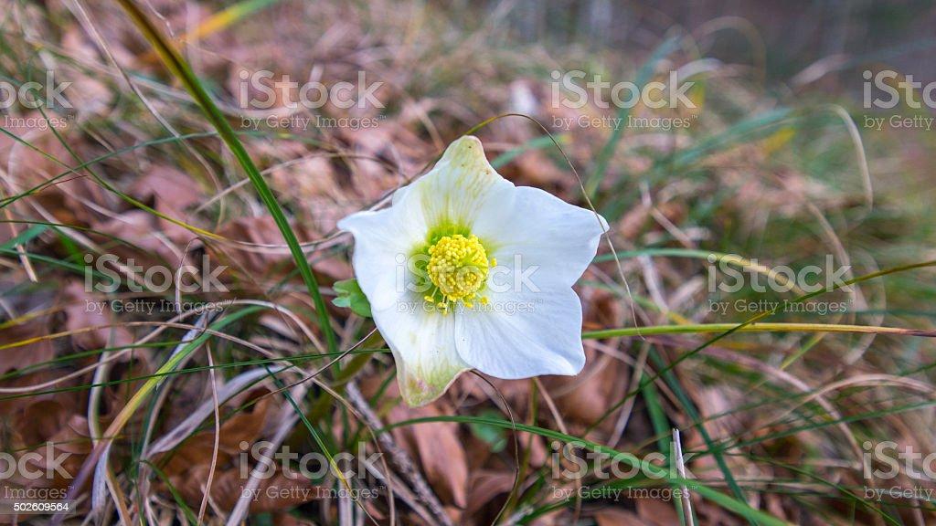 Winter rose makro stock photo