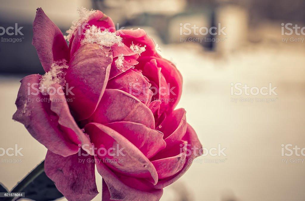 Winter Rose. photo libre de droits