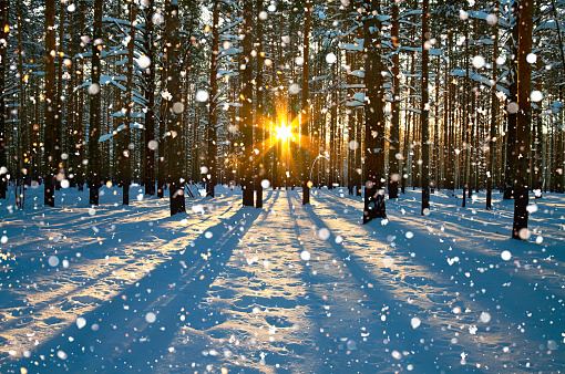 beautiful winter rural landscape with forest, sun and snow. sunset in winter forest. sun rays shine through trees. wintry sunrise