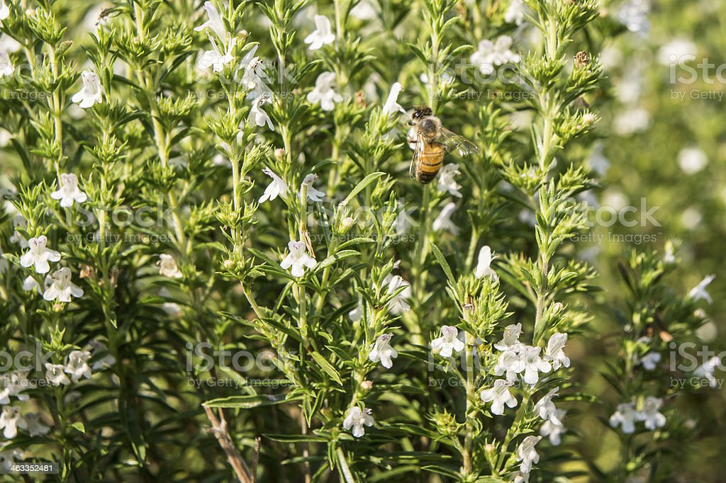 Winterbohnenkraut in Blume – Foto