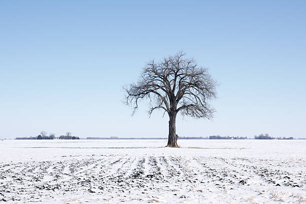 """winter scene - bare tree in field """"winter landscape scene with single bare cottonwood tree in snow covered field.  Location: North Dakota, USA"""" cottonwood tree stock pictures, royalty-free photos & images"""