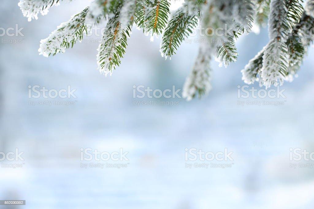 Scène d'hiver - branches de pin givrée - Photo