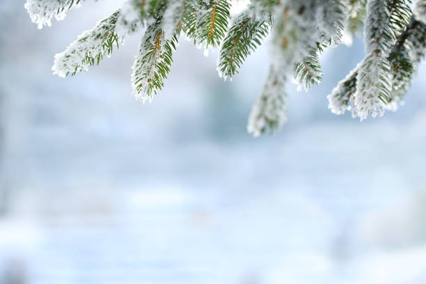 Winter scene - Frosted pine branches stock photo