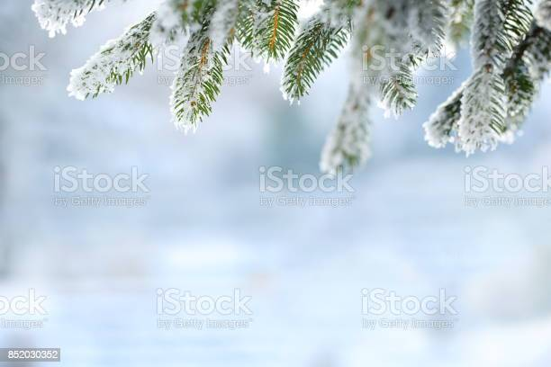 Photo of Winter scene - Frosted pine branches