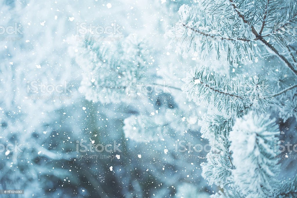 Winter scene - Frosted pine branches. Winter in the woods – Foto