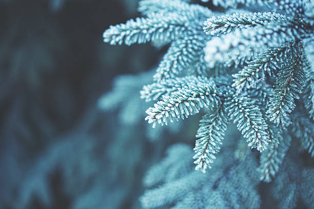 Winter scene - Frosted pine branches. Winter in the woods - foto de stock
