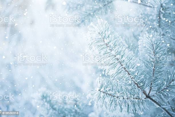 Photo of Winter scene - Frosted pine branches. Winter in the woods