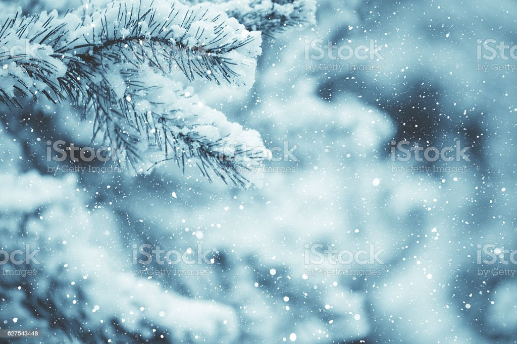 Winter scene - Frosted pine branches. Winter in the woods stock photo