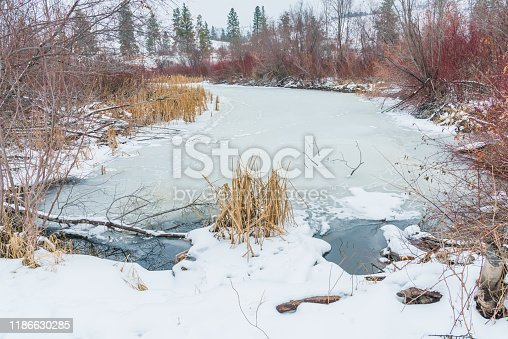 Winter view of frozen marsh, reeds, and willows at Vaseux Lake near Oliver, British Columbia, Canada