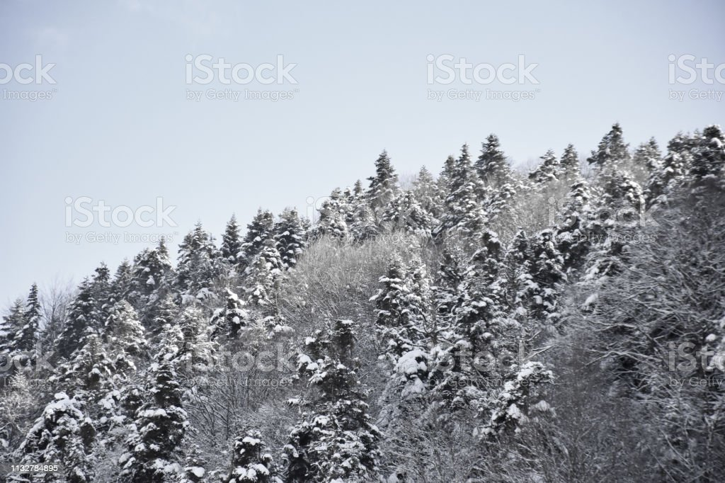 A winter scene, snowy hills covered with pine trees stock photo