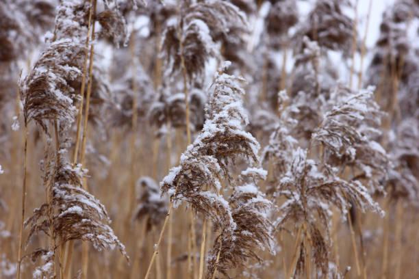ぼやけた自然の上に霜で覆われた植物と冬のシーン ストックフォト