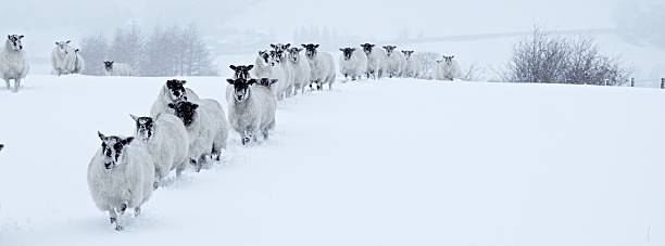 Winter Sheep In Line stock photo