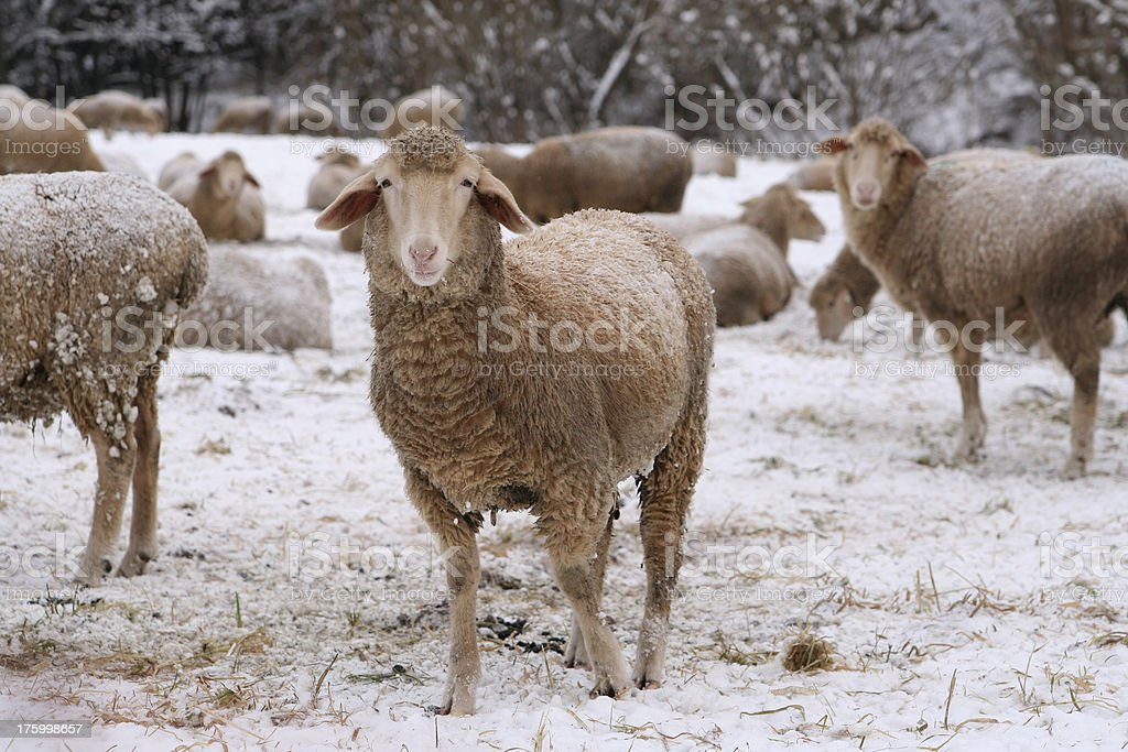 Winter Sheep royalty-free stock photo