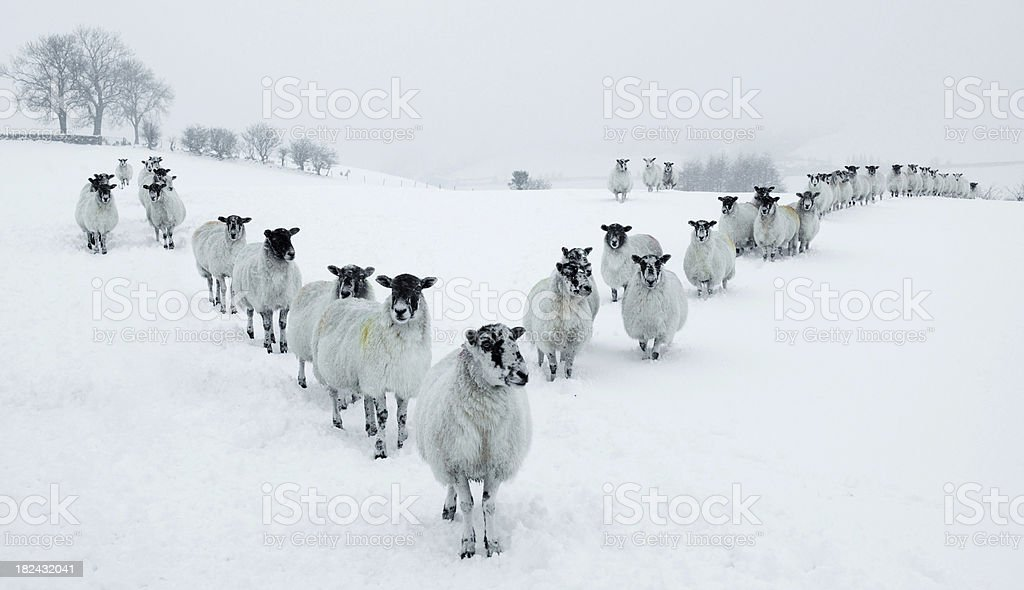 Winter Sheep V Formation stock photo