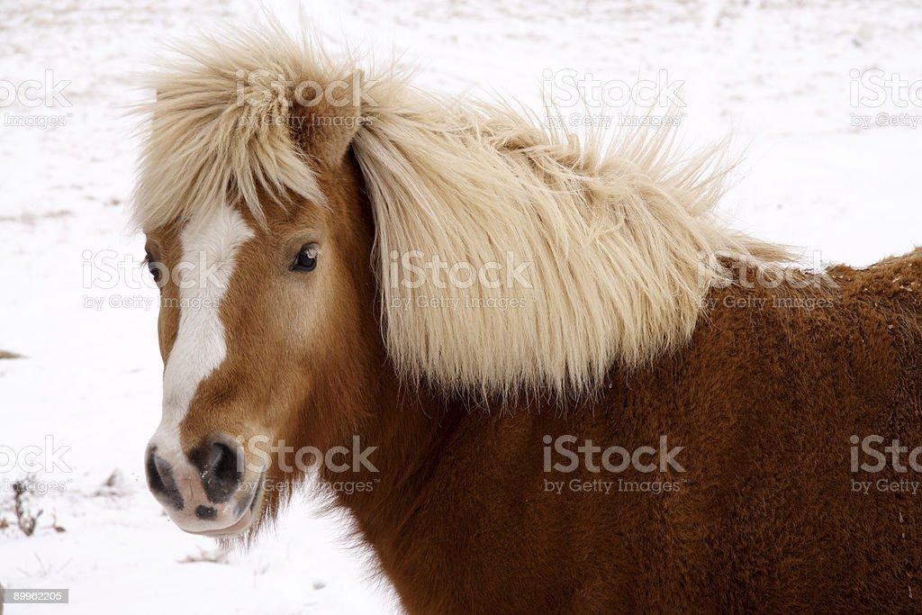 winter shetland pony royalty-free stock photo