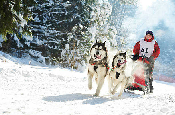 Winter Sled dog racing musher and Siberian husky Sled dog racing musher dogteam driver and Siberian husky at snow winter competition race in forest sled dog stock pictures, royalty-free photos & images