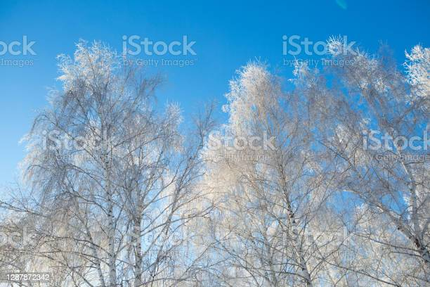 Photo of Winter snow birch tree branches on blue sky