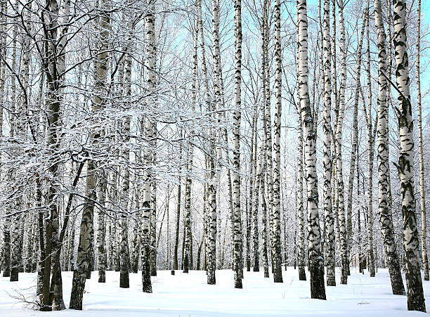 Winter snow covered birch branches on blue sky – Foto