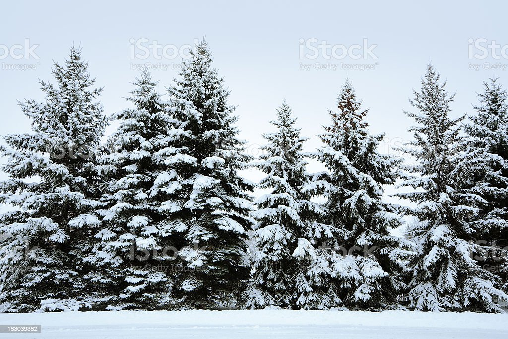 Winter snow covered pine tree forest row stock photo - Images of pine trees in snow ...