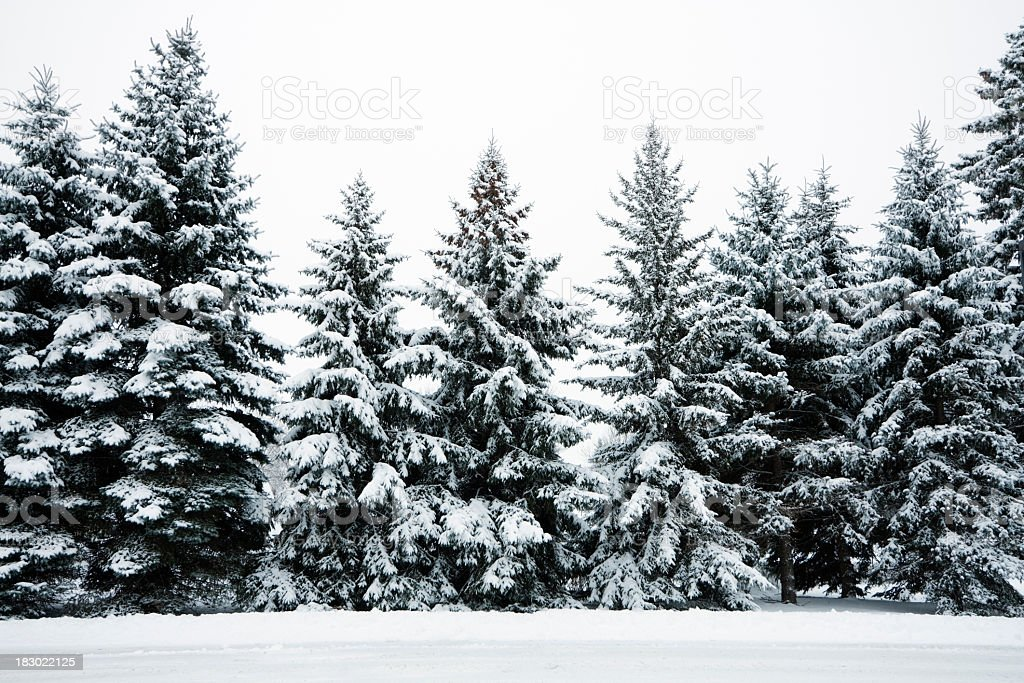 Winter snow covering evergreen pine tree woods forest - Images of pine trees in snow ...