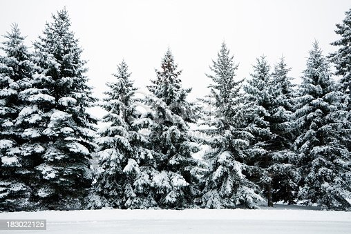 Pine forest trees covered with heavy snow after a winter snowstorm snowfall. Frosted Christmas season evergreen trees in Minnesota, Midwest, USA form a cold, monochromatic, scenic spruce woodland landscape with white sky and copy space. The frozen rural scene is in a natural park wilderness outdoor setting with no people.