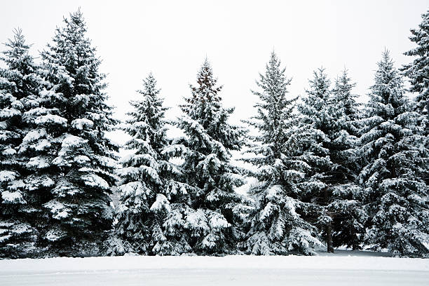 Winter Snow Covering Evergreen Pine Tree Woods Forest Landscape, Minnesota stock photo