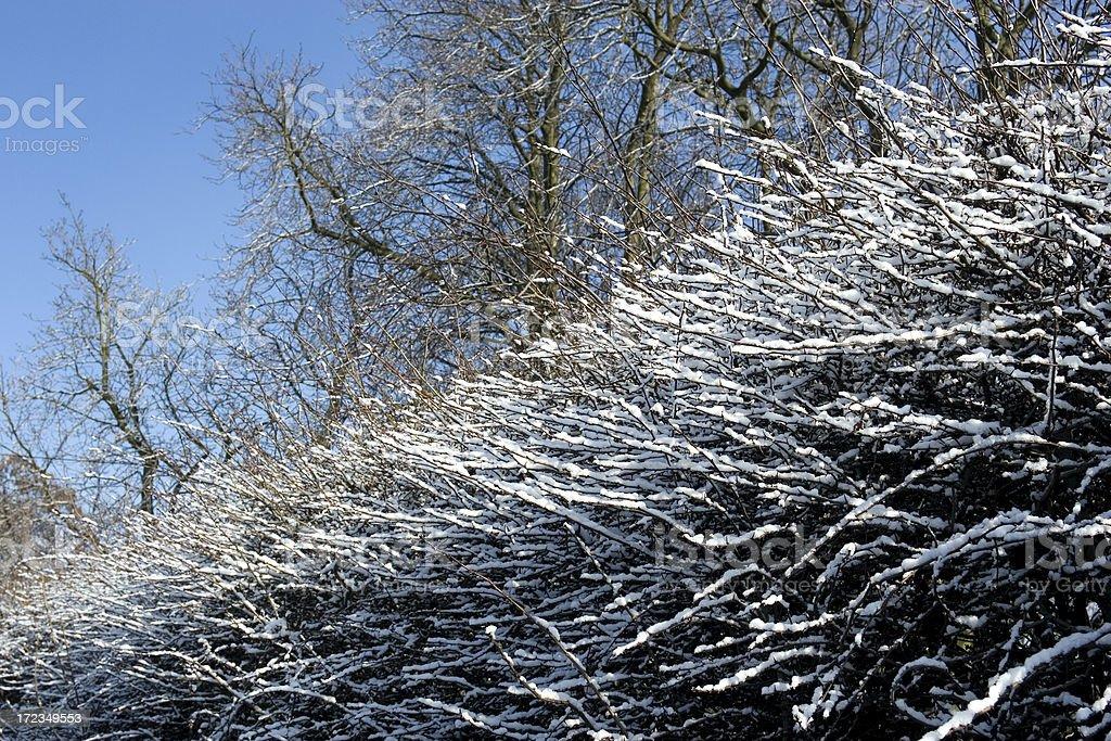 Seto de nieve en invierno foto de stock libre de derechos