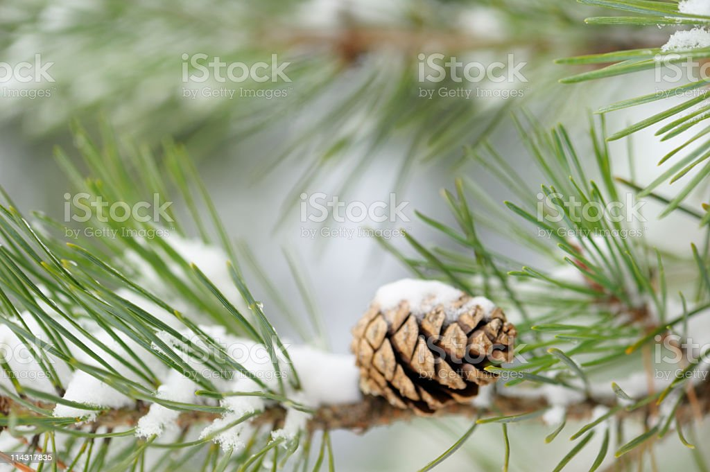 Winter Snow on Pine Branch with Cone royalty-free stock photo