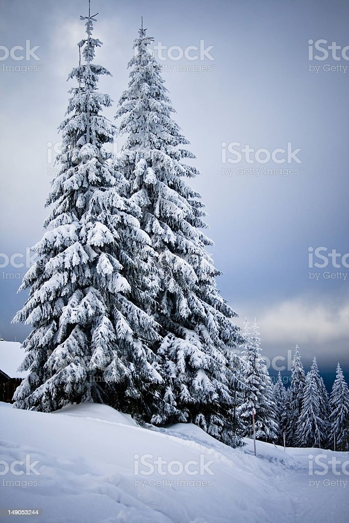 Winter snowy firs royalty-free stock photo