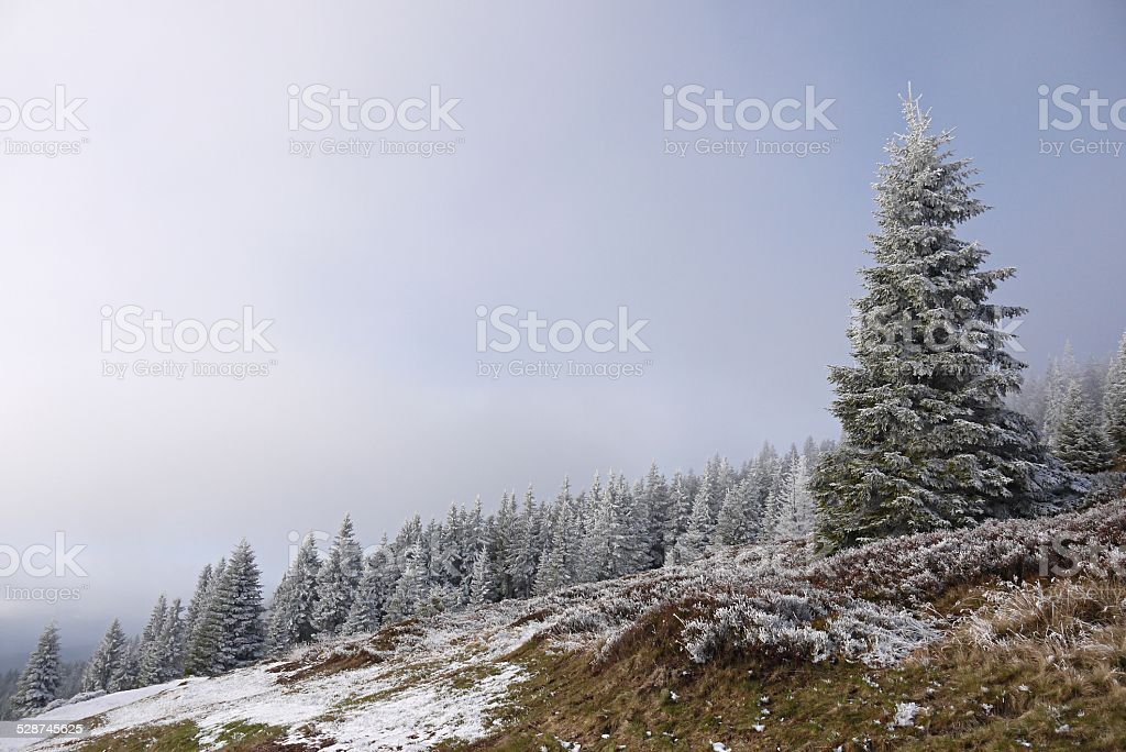 Winter spruce wood stock photo