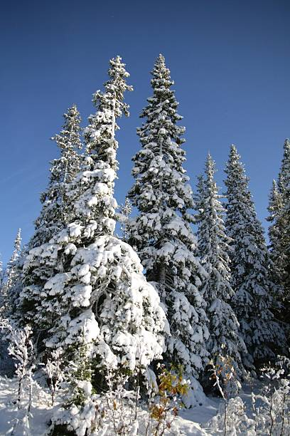 Winter spruces stock photo