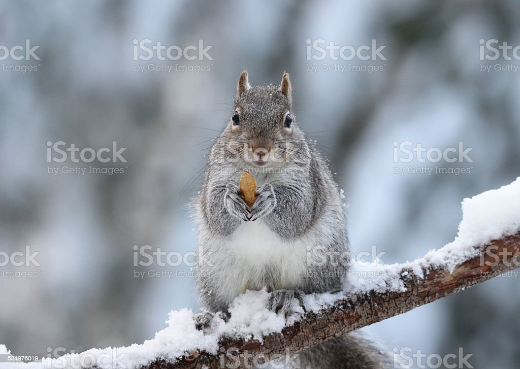 Winter Squirrel with a Nut stock photo